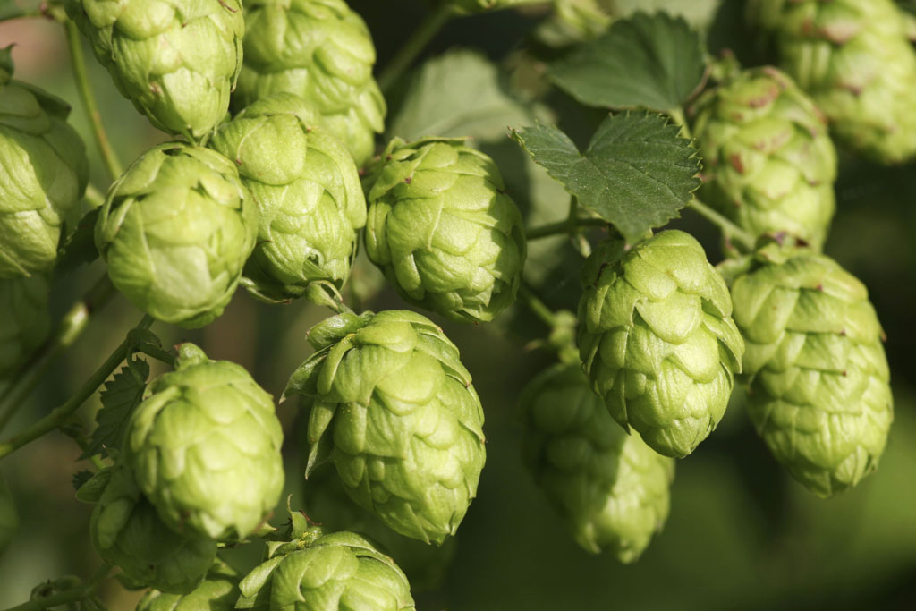Hops; an alternative to Ibuprofen.